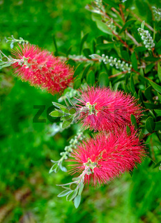 Plant of Callistemon with red bottlebrush flowers