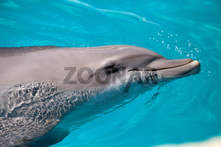 Bottlenose dolphin Tursiops truncatus swims along the shoreline of Key West