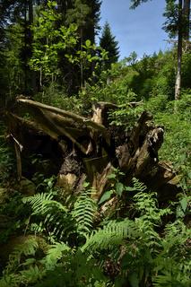 Nationalpark Schwarzwald; Sankenbachsteig; Baumstumpf