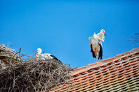 Storchennester mit Störchen auf einem Dach