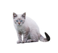 White And Brown Kitten on white background