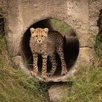 Cheetah cub staring out from concrete pipe