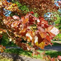 Junge Blätter und Blüten der Blutbuche, Fagus sylvatica purpurea
