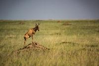 Hartebeest stands on termite mound in grassland