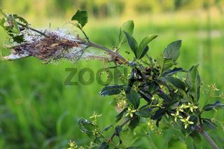 Raupen der Pfaffenhütchen-Gespinstmotte, Spindle ermine, Erucae yponomeuta cagnagella