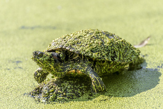 Wasserschildkröte sitzt mit Wasserlinsen überzogen auf einem Stein in einem See