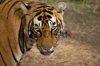 Pacman, Bengal Tiger, Panthera Tigris Tigris, Ranthambore, Rajasthan, India
