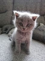 beautiful gray kitten is standing on the sofa and looking up to the camera