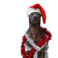 beautiful thai rifgbeck dog in christmas cap