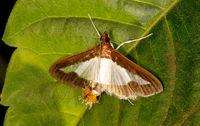Cucumber snout moth, Daphania indica, Valley School, Bangalore, Karnatalka, India