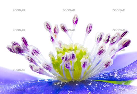 Isolated purple liverleaf flower blossom