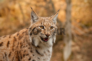 Detailed close-up of adult eursian lynx in autmn forest with blurred background.