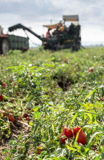 Picking tomatoes. Tractor harvester harvest tomatoes and load on truck. Automatization agriculture concept with tomatoes.