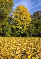 autumn landscape with maple