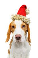 beautiful beagle dog in christmas hat