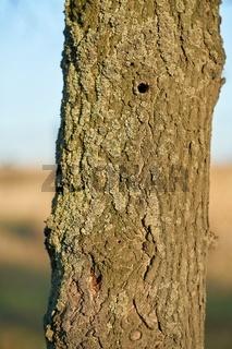 ein durch den Asiatischen Laubholzbockkäfer befallener Baum in Magdeburg
