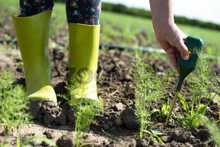 Fennel plantation. Measure soil contents with digital device