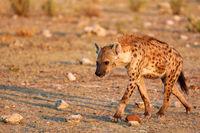 Tüpfelhyäne, Etosha-Nationalpark, Namibia, (Crocuta crocuta) | spotted hyena, Etosha National Park, Namibia, (Crocuta crocuta)