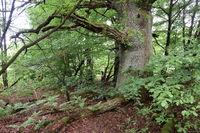 Urwald an der Sababurg