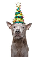 beautiful thai ridgeback dog in new year tree hat