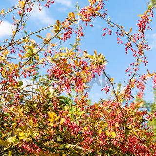 colorful barberry with ripe fruits in autumn day