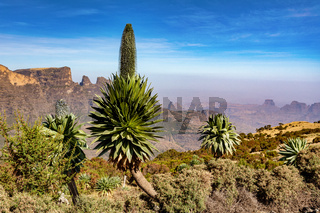 Giant lobelia in Semien or Simien Mountains, Ethiopia