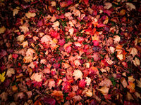 Cover of red autumnal leaves on the forest earth