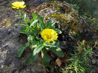 Gelbe Ringelblume im Steingarten