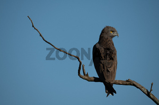 Brown snake-eagle on dead branch turning head