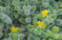 Yellow cactus flowers macro
