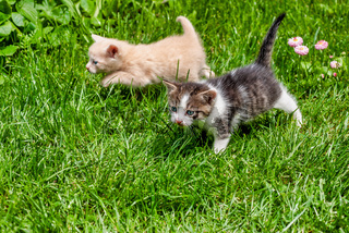 Two Kittens Walking Through the Grass