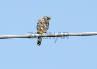 Turmfalke 'Falco tinnunculus'