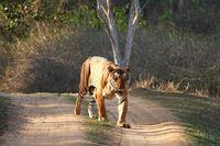 Male tiger, Panthera Tigris, Bandipur National Park, Karnataka, India