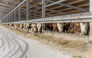 some cattle in a barn
