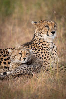 Close-up of cheetah and cub looking right