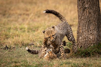 Cheetah cubs wrestle  on ground beside tree