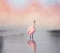 Roseate Spoonbill in the pond