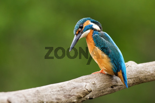 Common kingfisher, alcedo atthis, looking curiously downwards.