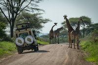 Four Masai giraffe and jeep on track