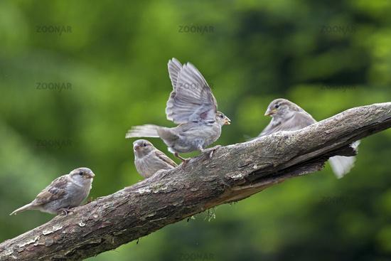 Haussperling Streit zwischen flueggen Jungvoegeln / Passer domesticus