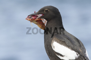 portrait of a PIGEON GUILLEMOT with a fish in the beak of a person sitting on a rock
