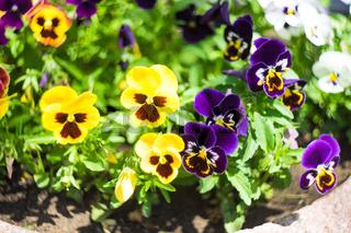 Tricolor violas flowers