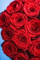 Luxury bouquet of red roses on blue background, flowers as a holiday gift