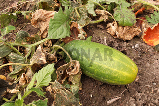 A overripe cucumber growing in the garden between wilted leaves