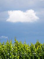 Kleine weiße Wolke über den Weingärten im Burgenland