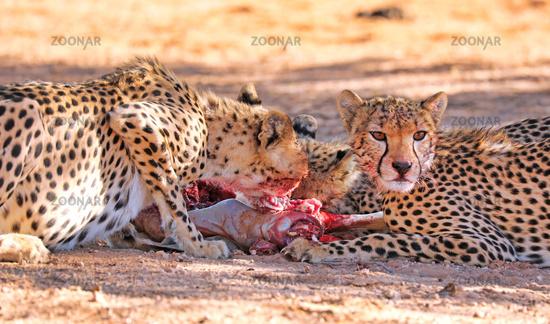Geparde fressen Springbock, Kgalagadi-Transfrontier-Nationalpark, Südafrika, (Acinonyx jubatus)   Cheetahs eating a springbok, Kgalagadi Transfrontier National Park, South Africa, (Acinonyx jubatus)