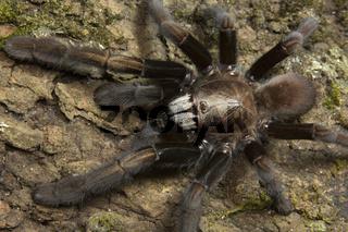 Parambikulam Large Burrowing Spider, Thrigmopoeus Kayi, Theraphosidae, Parambikulam tiger reserve, Kerala, India