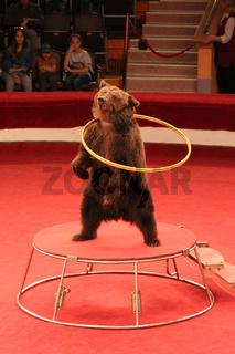 Trained bear twisting hoops in circus arena