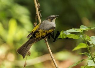 Ashy bulbul, Hemixos flavala, Yellow-browed bulbul, Dandeli, Sattal, Nainital district, Uttarakhand, India