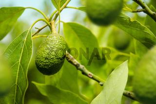 Green Avocado in Tree